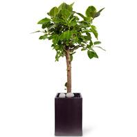뱅갈고무나무(고급)